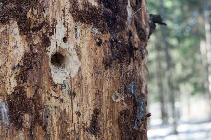 Mały wydrążenie w starym drzewie zdjęcia royalty free