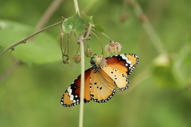 Mały Złoty Żółty motyl obraz royalty free