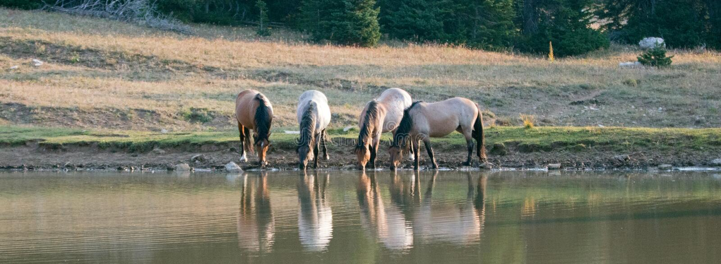 Mały zespół, stado dzicy konie pije przy waterhole w Pryor gór Dzikiego konia pasmie w Montana/ fotografia royalty free