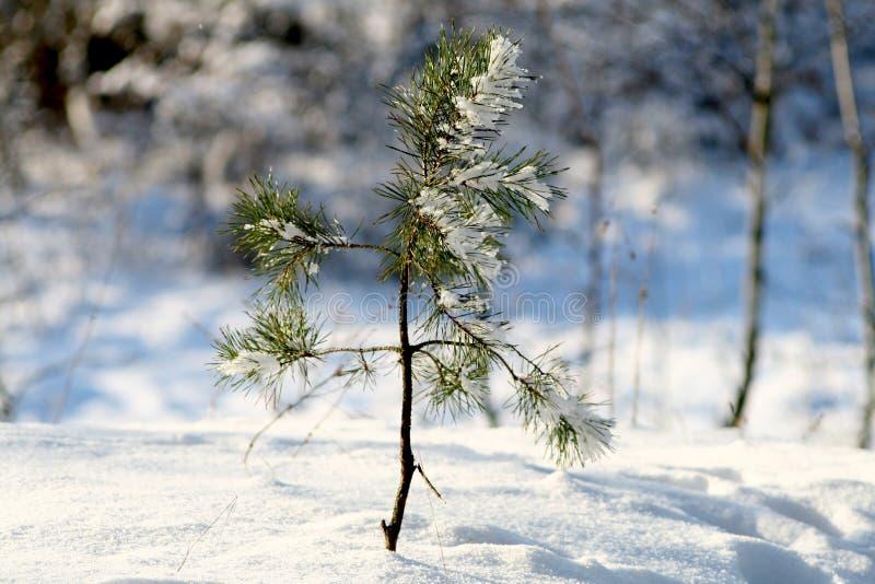 Mały zielony drzewo pod śniegiem obrazy royalty free