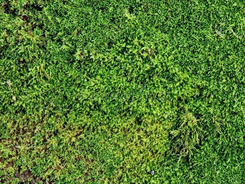 Mały zielony dziki mech obraz stock