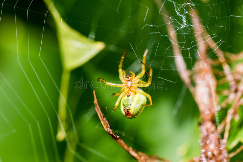 Mały zielony pająk obrazy stock