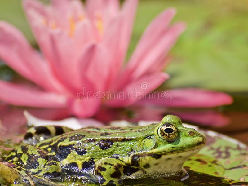 Mały zielony waterfrog przed różową kwitnienie wodą lilly zdjęcie royalty free