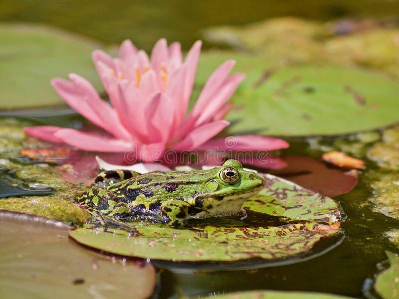 Mały zielony waterfrog przed różową kwitnienie wodą lilly obrazy stock