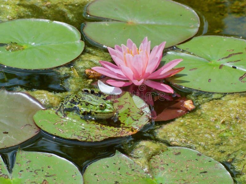 Mały zielony waterfrog przed różową kwitnienie wodą lilly obrazy royalty free