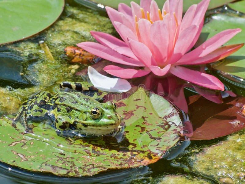 Mały zielony waterfrog przed różową kwitnienie wodą lilly obraz royalty free