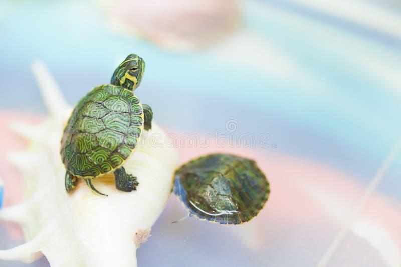 Mały zwierzę domowe żółw w niewoli obraz stock