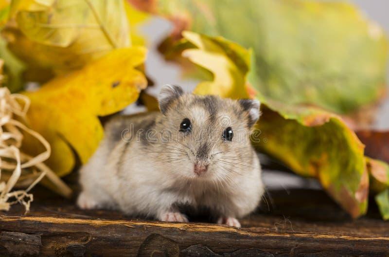 Mały zwierzę domowe chomik fotografia royalty free