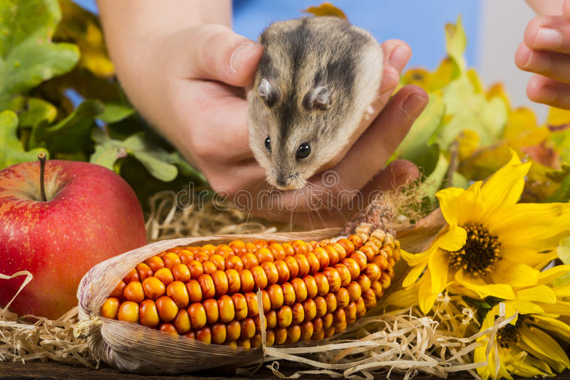 Mały zwierzę domowe chomik zdjęcie stock