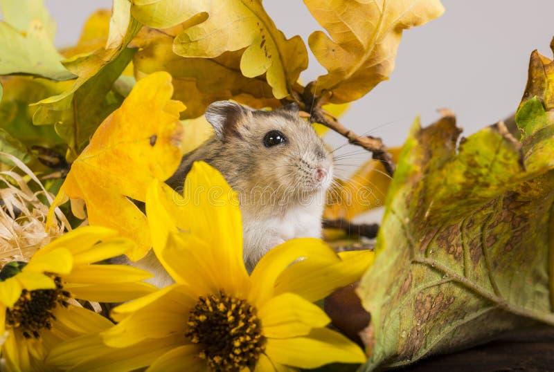 Mały zwierzę domowe chomik zdjęcie royalty free
