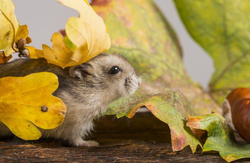 Mały zwierzę domowe chomik obraz stock