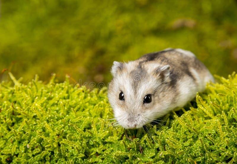 Mały zwierzę domowe chomik obraz royalty free