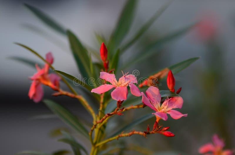 Małych kwiatów różowy czerwony pomarańczowy Piękny kwiat w naturze obrazy royalty free