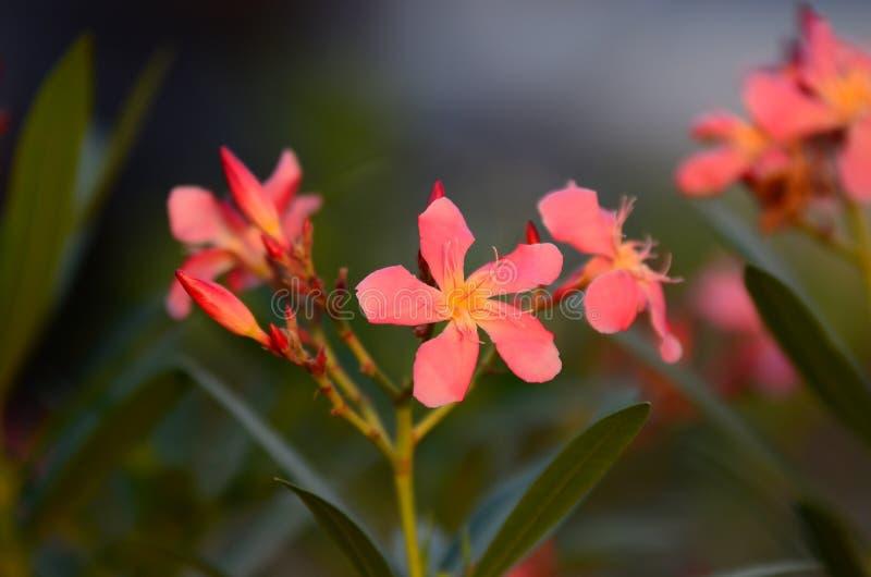 Małych kwiatów różowy czerwony pomarańczowy Piękny kwiat w naturze fotografia stock