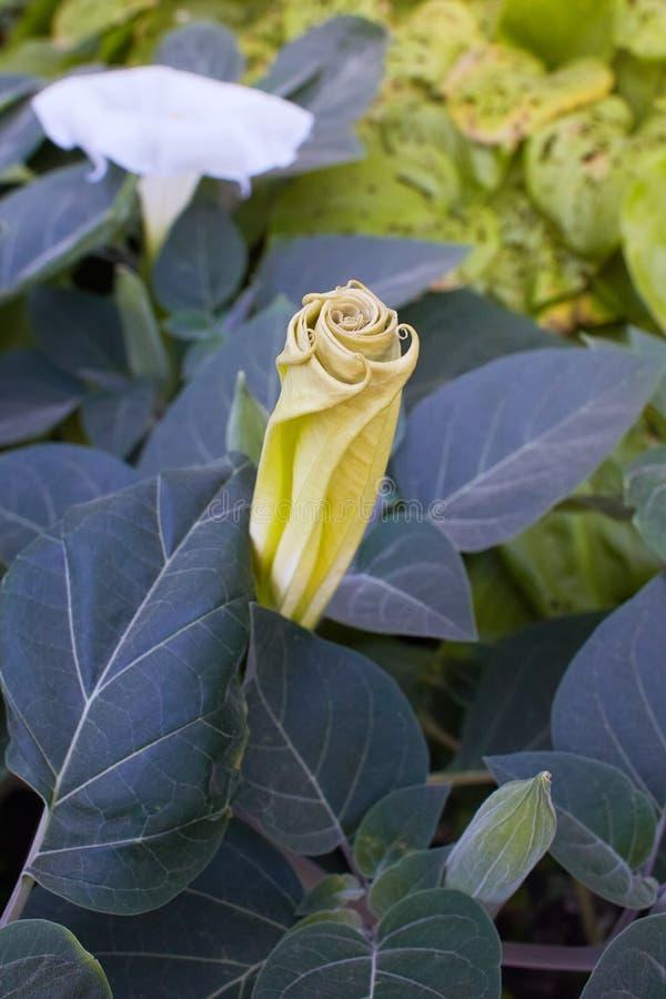 Ma?? de espinho, planta decorativa venenosa imagem de stock royalty free