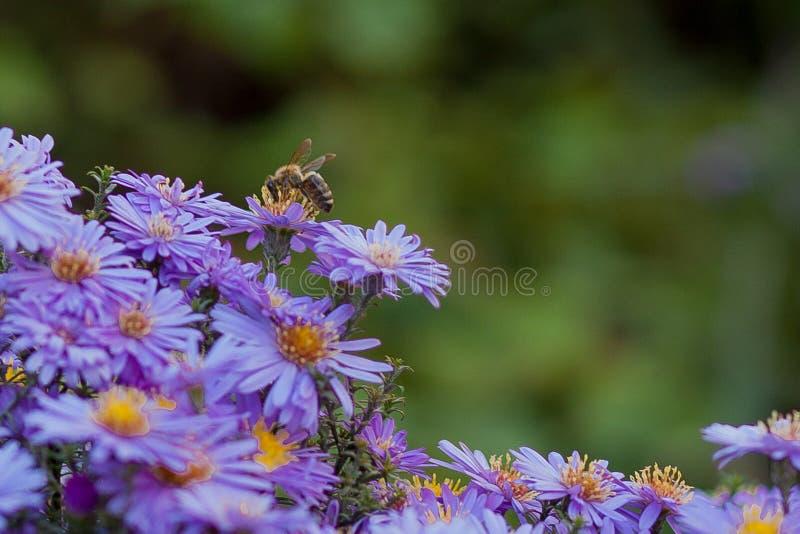 Ma?e purpurowe stokrotki - Erigeron Ogr?d kwitnie naturalnego lata t?o Na kwiacie pszczo?a zbiera nektar zdjęcie stock