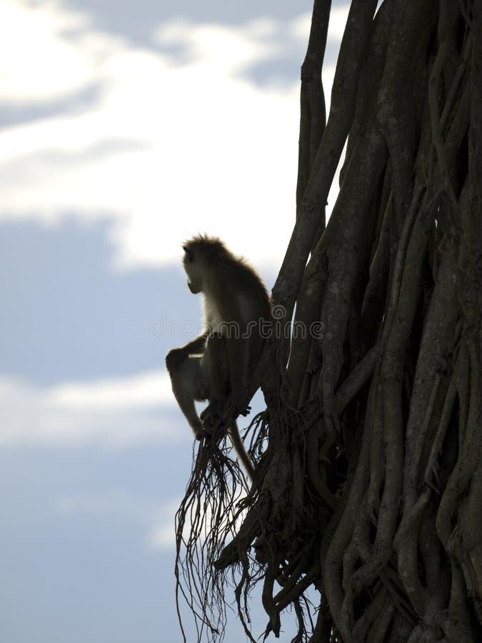 Download Małpa obraz stock. Obraz złożonej z dzień, przyroda, nowy - 29480731