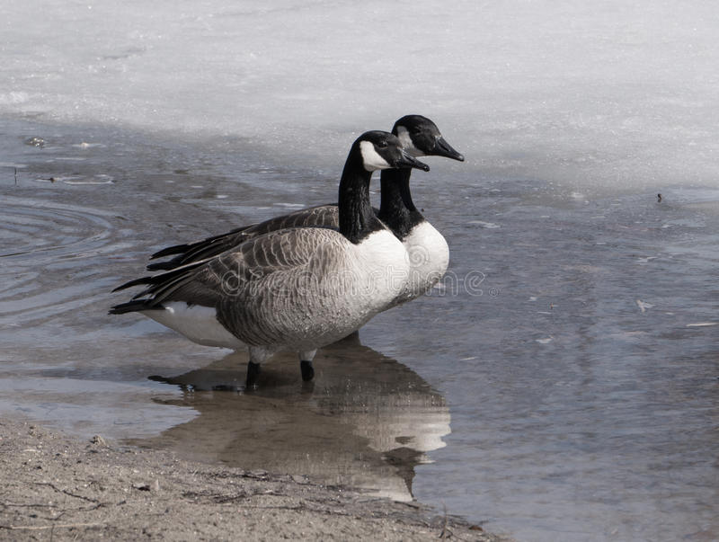 Ma and Pa. Two Canada Geese walking along an icy shore right before Spring royalty free stock photos