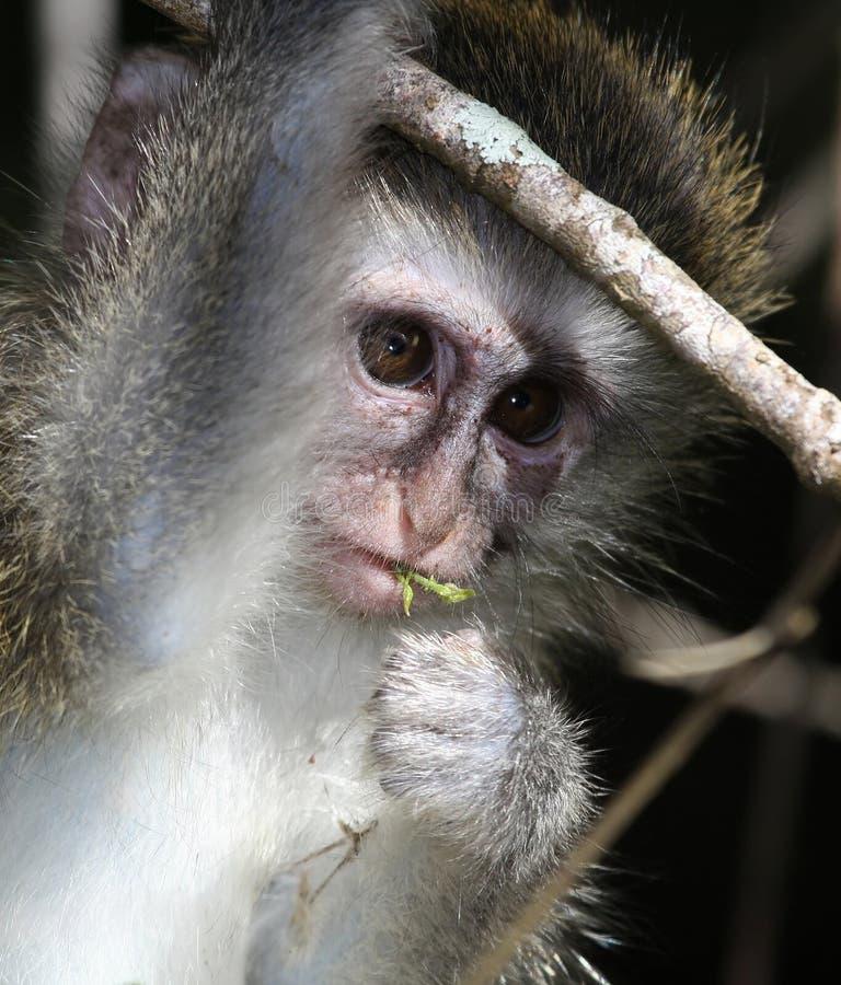 Download Małpi dziecka vervet obraz stock. Obraz złożonej z natura - 13325549
