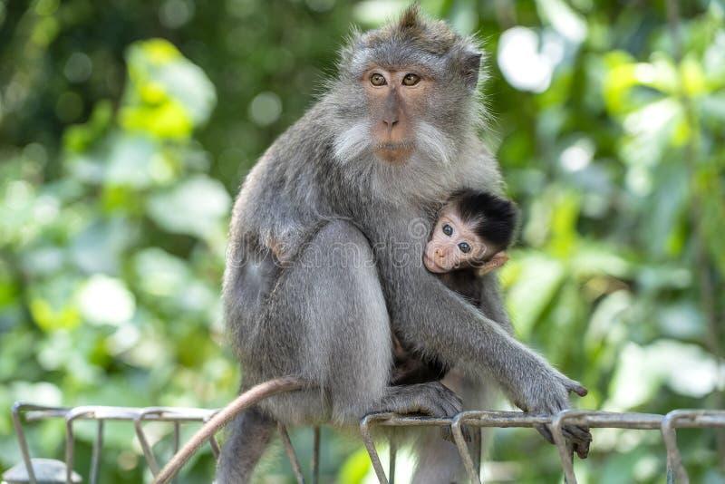Ma?pia rodzina w lesie, Ubud, wyspa Bali, Indonezja z bliska zdjęcie stock