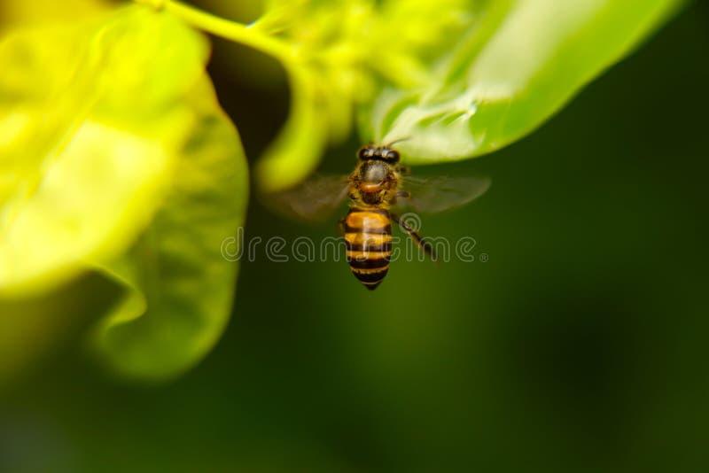 ma?a pszczo?y dziewczyna kostiumowa lataj?ca zdjęcie royalty free