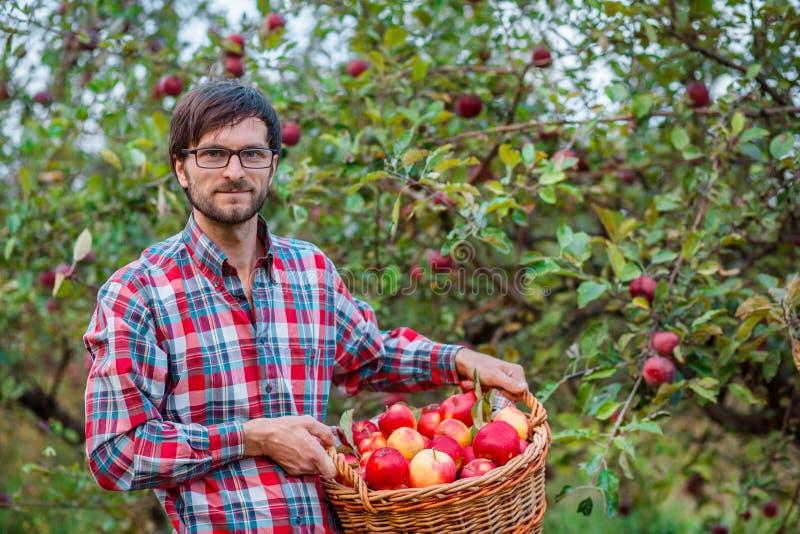 Ma??s da colheita Um homem com uma cesta completa de ma??s vermelhas no jardim imagem de stock