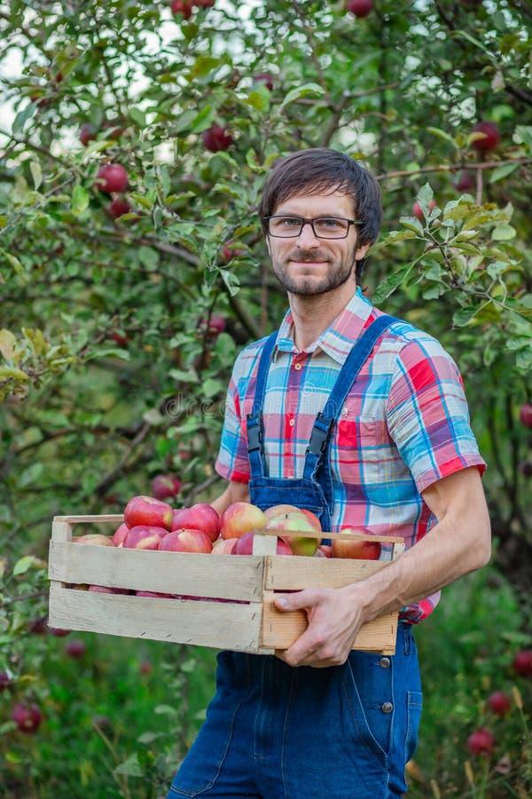 Ma??s da colheita Um homem com uma cesta completa de ma??s vermelhas no jardim fotografia de stock royalty free