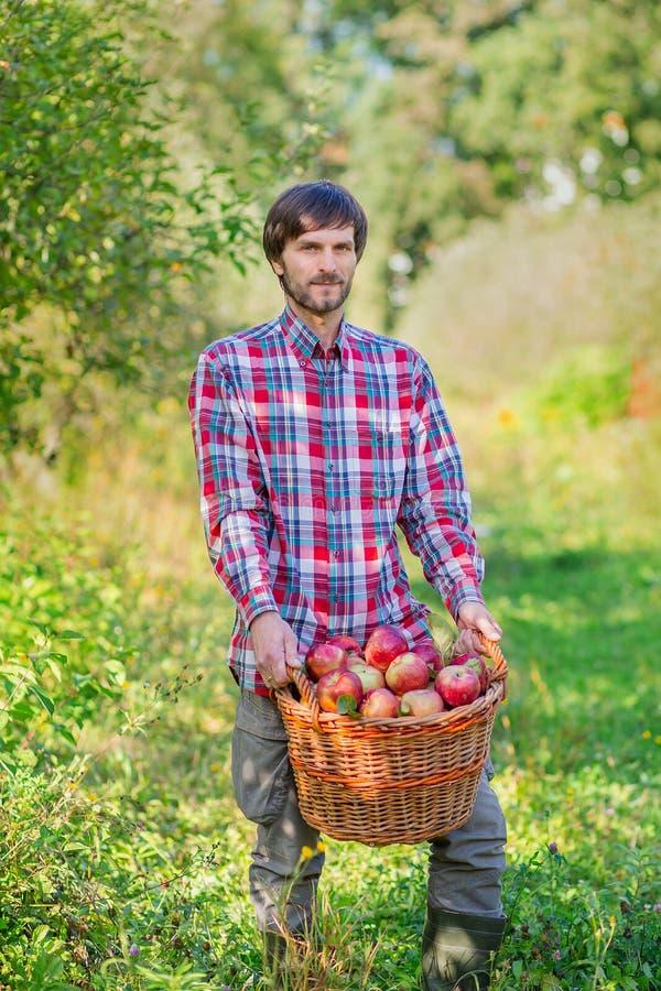 Ma??s da colheita Um homem com uma cesta completa de ma??s vermelhas no jardim imagem de stock royalty free