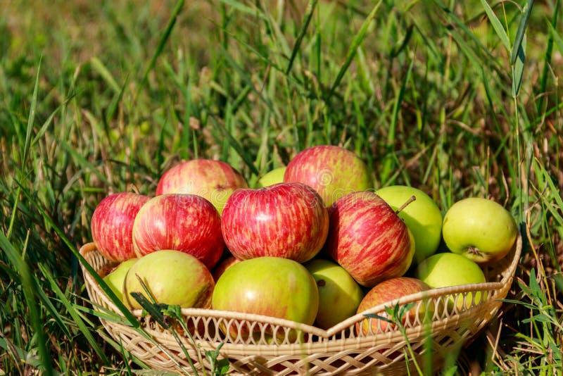 Ma??s maduras frescas na cesta na grama verde foto de stock
