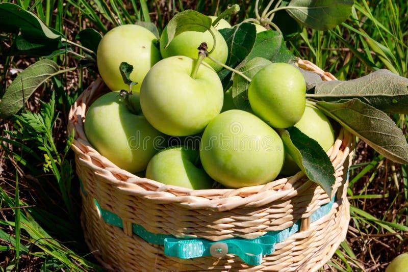 Ma??s maduras frescas na cesta na grama verde fotos de stock royalty free