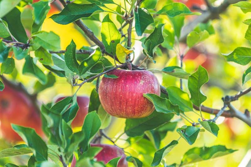 Ma?? vermelha crua fresca no ramo no jardim no dia ensolarado foto de stock