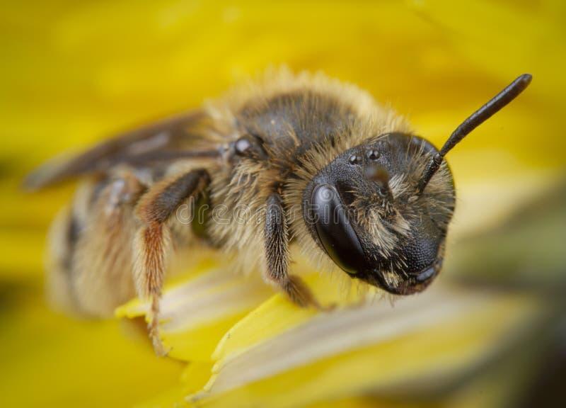 ma?y honeybee pozuje w ? zdjęcia royalty free