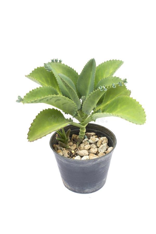 Download Mały Kaktus W Kwiatu Garnku Zdjęcie Stock - Obraz złożonej z houseplant, natura: 57662782