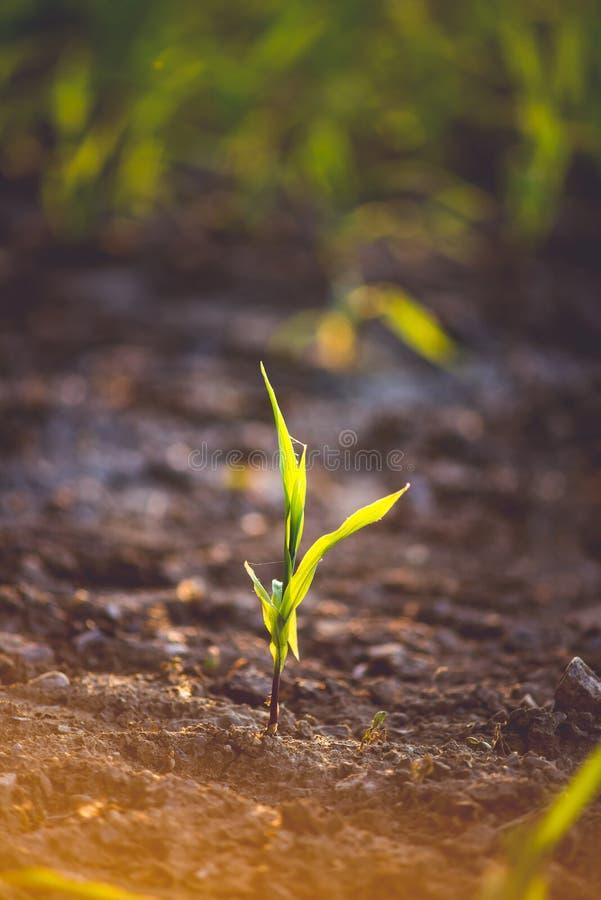 Ma?z verde joven que crece en el campo imagenes de archivo