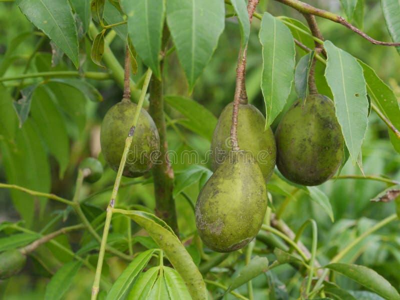 Ma zielony Świeży Od Tajlandia owocowego świeżego warzywa Wpólnie, wiele rezultaty zdjęcia stock