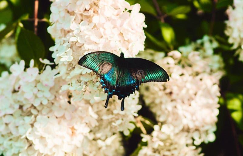 Maackii de Papilio ou borboleta preta alpina do swallowtail ou a azul do machaon, família de Papilionidae imagens de stock royalty free