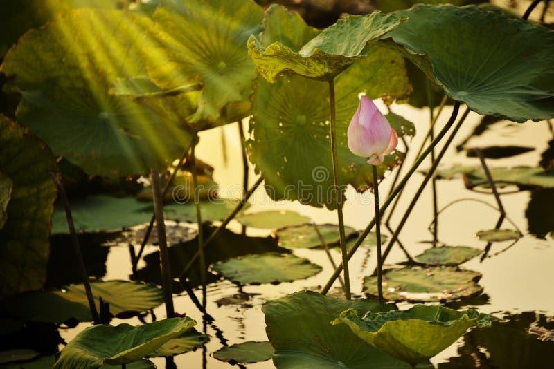 Maak meditatie met Indisch Lotus, Heilig Lotus, Boon van India in lagunebeeld met avondlicht royalty-vrije stock afbeeldingen