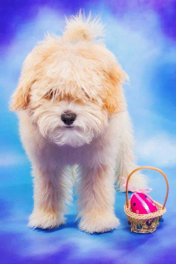 3 maand het oude het puppy van Maltees/van de poedel stellen met paasei stock foto