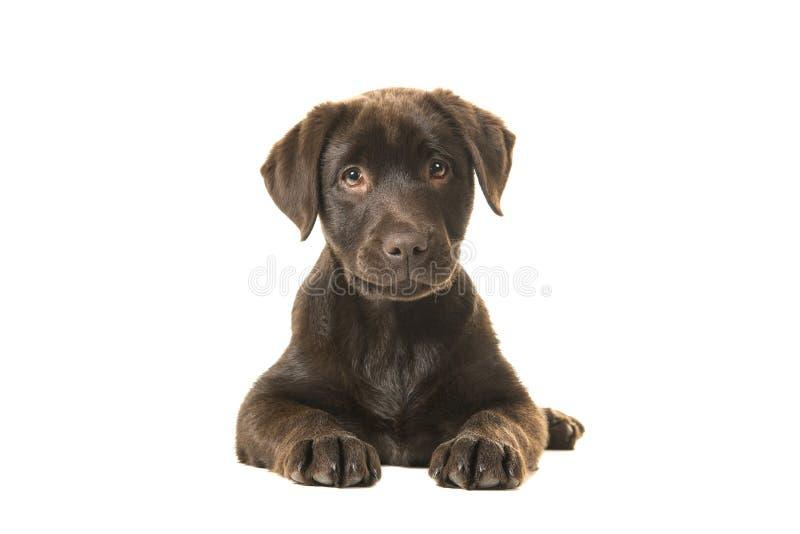 4 maanden oud het bruine labrador retriever-puppy liggen gezien van de voorzijde, met zijn poten voor haar en bekijkend recht royalty-vrije stock fotografie