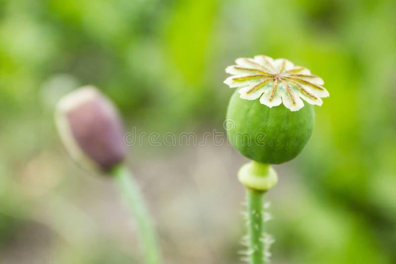 Maankop, Papaver - somniferum De bloem van de papaver royalty-vrije stock foto's