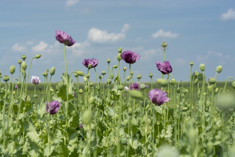 Maankopbloemen op gebiedspapaver - somniferum royalty-vrije stock afbeeldingen
