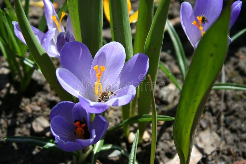 In Maart, bloeide de eerste lilac krokus royalty-vrije stock fotografie