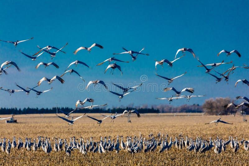 7 MAART, 2017 - Groot Eiland, de RIVIER van Nebraska - PLATTE, de Migrerende Sandhill Kranen van VERENIGDE STATEN vliegt over cor royalty-vrije stock foto's