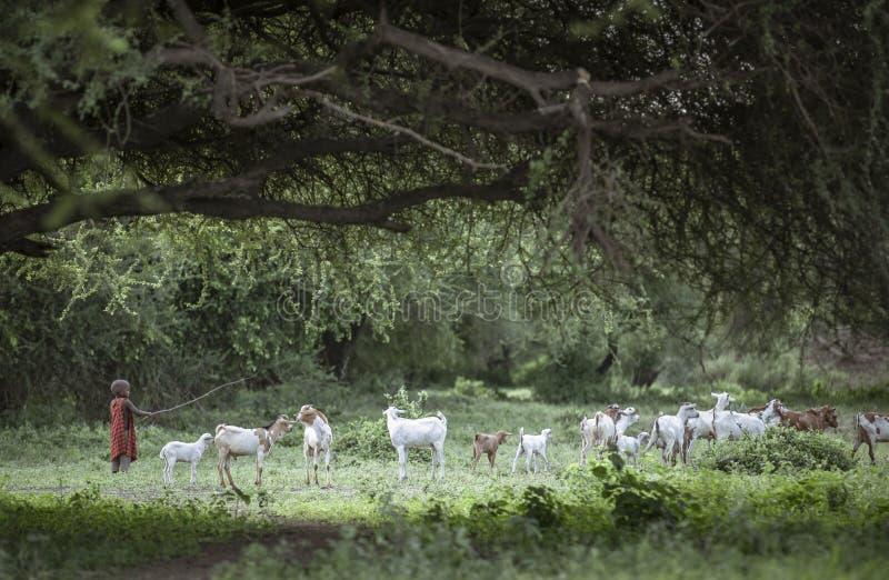 Maasai boy herding goats stock photos