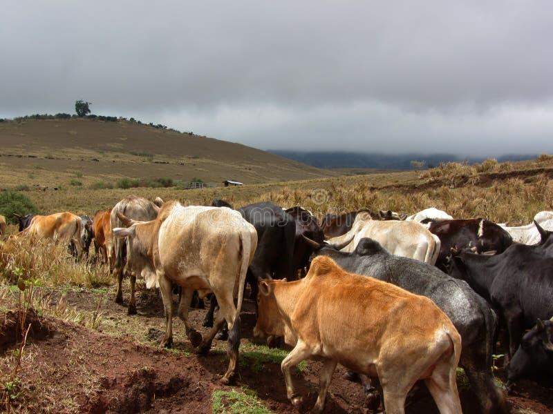 Maasai Cattle. A small herd of Maasai cattle crossing through Ngorongoro Crater in Tanzania stock image