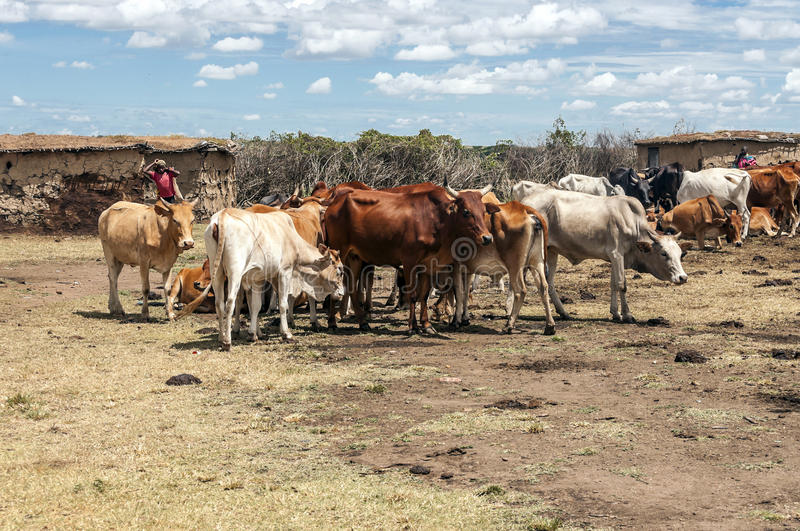 Maasai cattle. Maasai village with their cattle in the center next to shepherds on a sunny day, picture taken in May 2014 royalty free stock photography