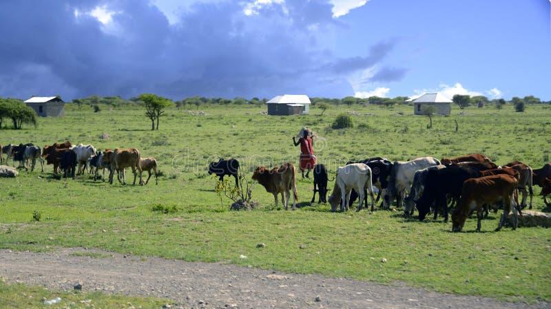 Maasai che raduna ragazzo con il gregge del bestiame fotografia stock
