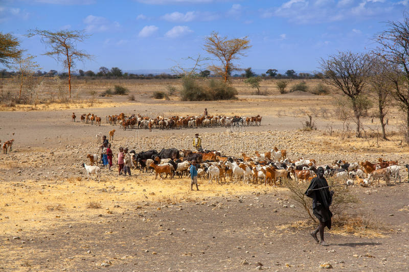Maasai children are herding cow cattle, Tanzania. Cow cattle driven by Maasai children to drink water royalty free stock images
