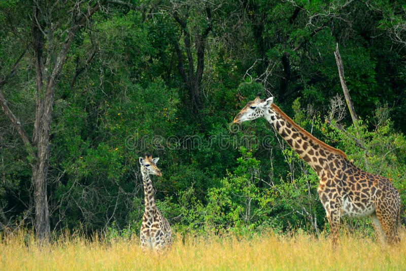 Maasai giraffes, Maasai Mara Game Reserve, Kenya royalty free stock photo