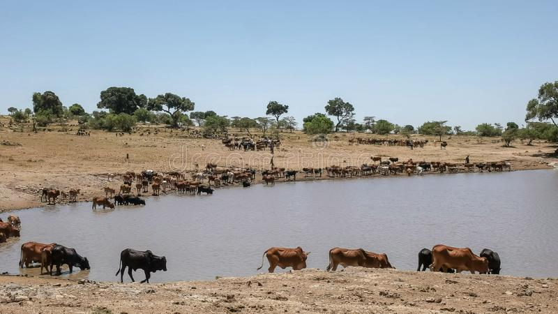 Maasai herdsmen bring their cattle to water near masai mara, kenya. Maasai herdsmen bring their cattle to water at a village dam near masai mara national park stock images